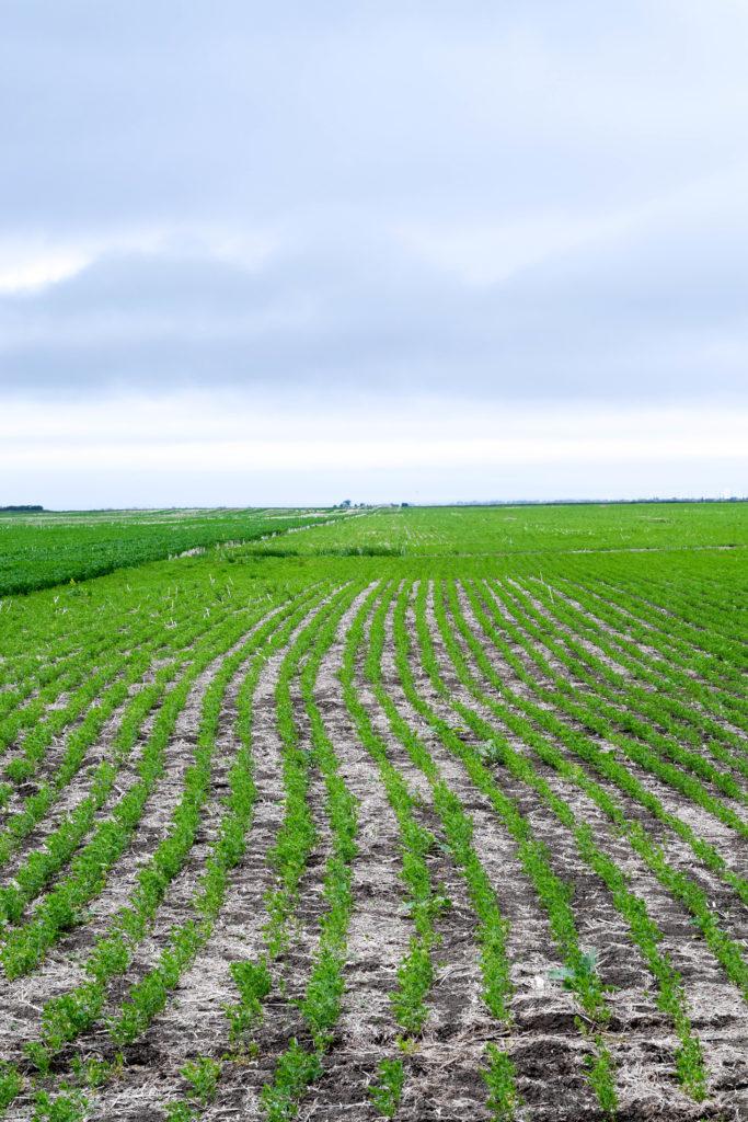 lentil fields